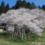 高山の臥龍桜 開花 満開はいつ?