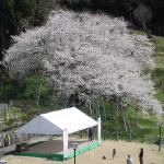 高山の臥龍桜 満開の桜に感激