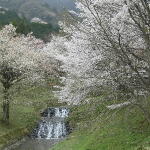 さくら名所100選 霞間ヶ渓(かまがたに)の桜祭り