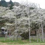 岐阜 根尾の薄墨桜